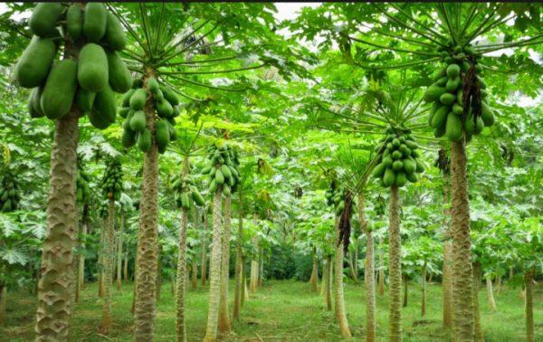 Đu đủ trồng theo tiêu chuẩn GlobalGAP